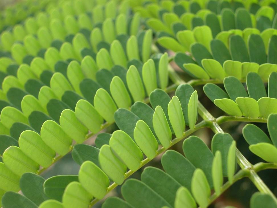 bean tree leaflets