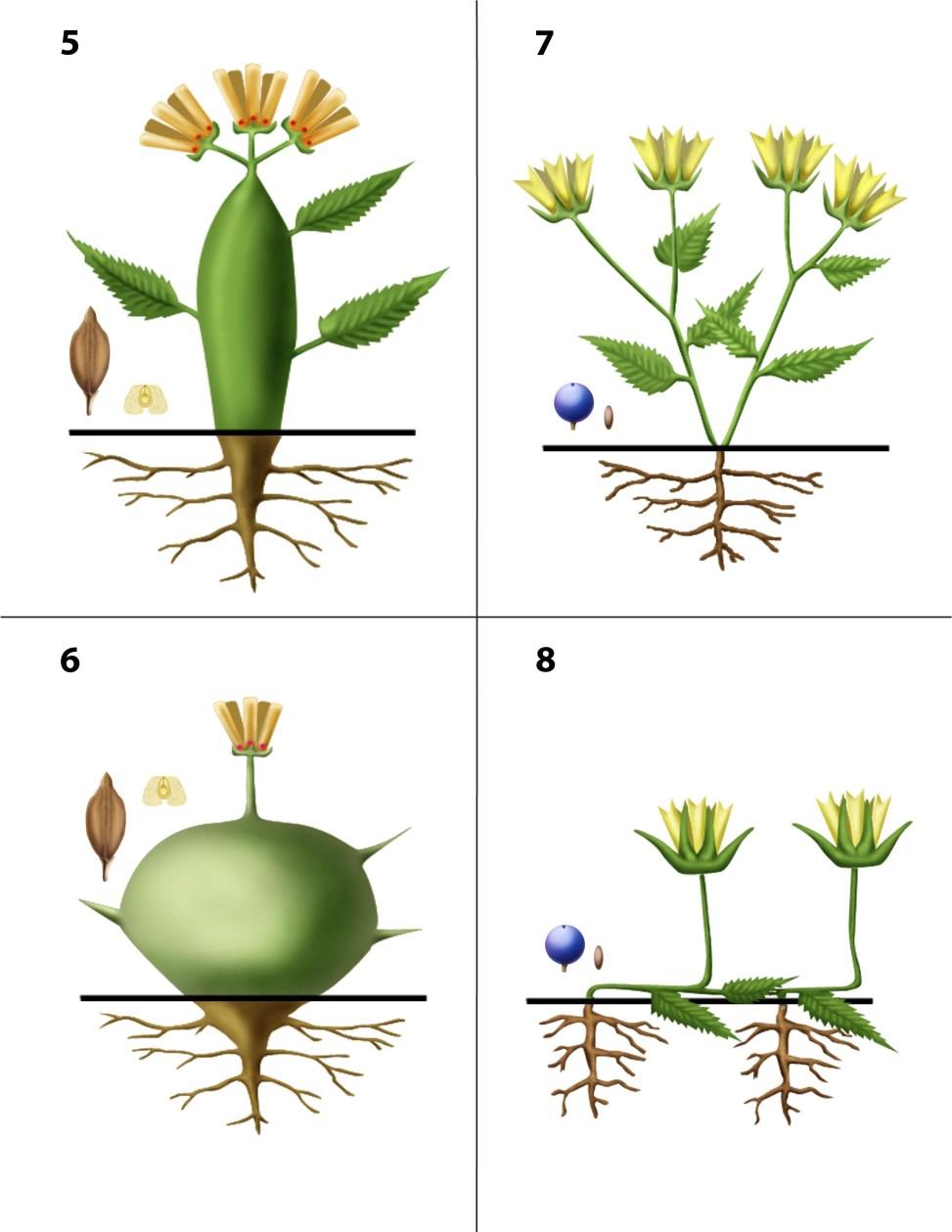 Dendrogrammaceae 5-8