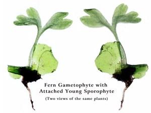 Fern gametophytes with sporophytes