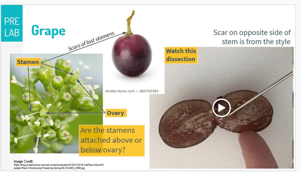 Morphology of grapes; source Rebecca Humphrey