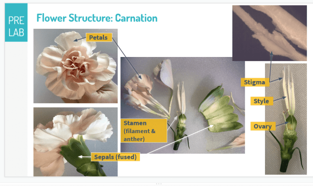 Morphology of carnation; source Rebecca Humphrey