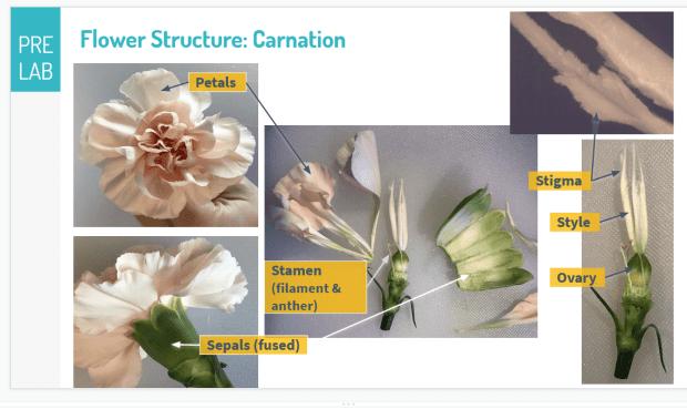 Morphology of carnation; source Rebecca Humphrey