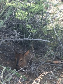 Baby duiker in the bush