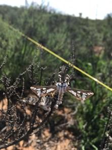 Equine maiden moth