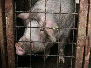 porc cu trichineloza