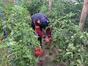 rosii program tomate1