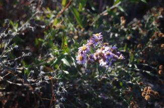 Bushman's tea, Athrixia phylicoides, Asteraceae, flower heads are mauve and yellow, throughout the year © Pat Lennox