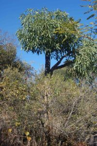 Cabbage tree, Cussonia spicata, Araliaceae, growing on a gentle west-facing slope in unburnt wooded grassland on granite and in full sun. © Pat Lennox