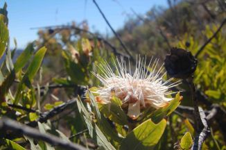 African protea or white sugarbush, Protea gauguedii, Proteaceae, a spreading multi-stemmed shrub or small, gnarled tree. Mature leaves are hairless, flowerheads are usually solitary. © Pat Lennox