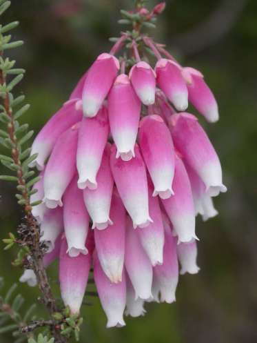 Erica baueri subspecies baueri (Image supplied by BotSoc Kirstenbosch Branch)