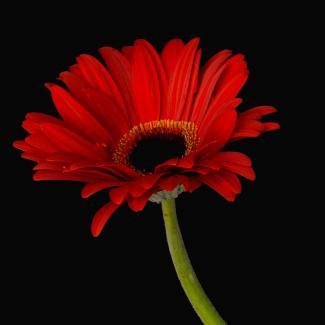 Hybrid Gerbera ©Dawn Black