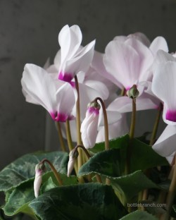 cyclamen-print-bottle-branch