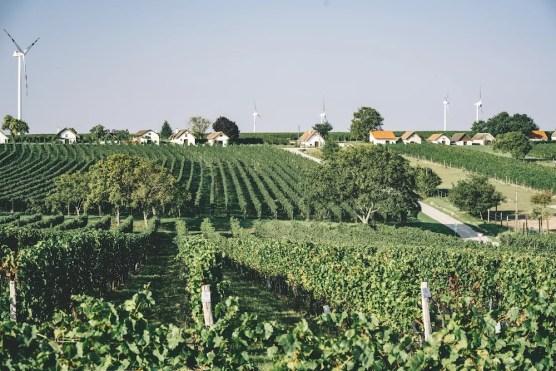 Blick auf die Rebfläche vom Weingut Artner im Carnuntum