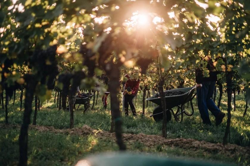 Winzer Christina und Franz Netzl bei der Arbeit im Weingarten