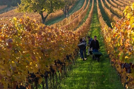 Menschen arbeiten zwischen den Reben am Leithaberg im Burgenland.