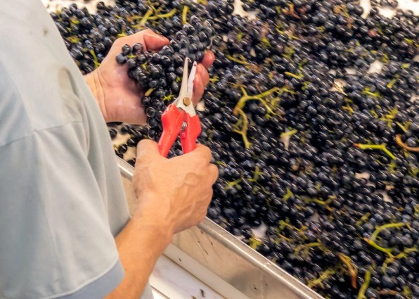 Rote Weintrauben werden am Selektiertisch per Hand überprüft.