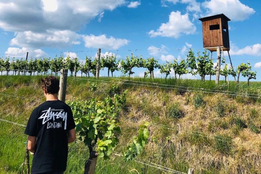 Blick in die Reben vom Weingut Gerhard J. Lobner im österreichischen Weinviertel.