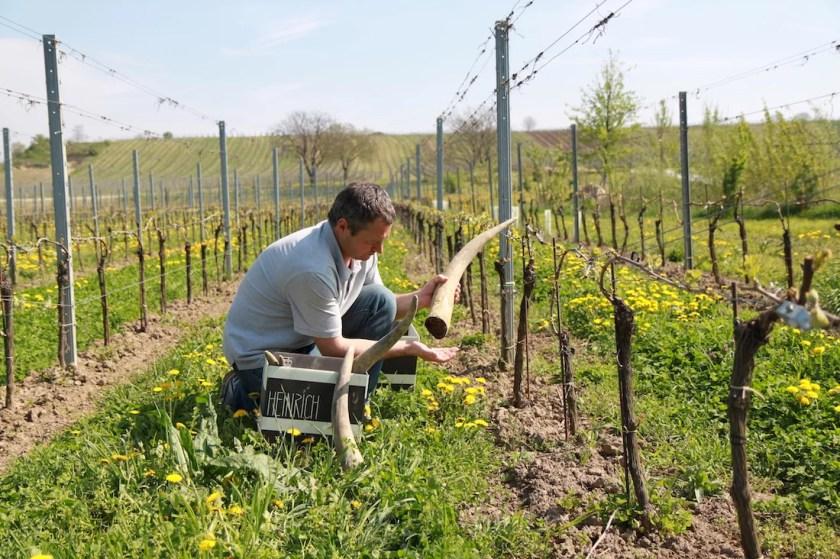 Winzer Gernot Heinrich mit Kuhhorn für biodynamischen Weinbau zwischen den Reben.