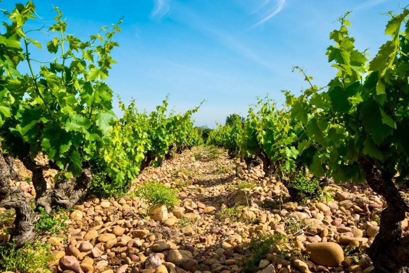 Alte Weinreben an der südlichen Rhone