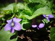 tiny violet weeds