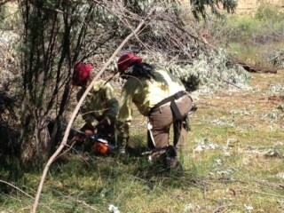 Using a chainsaw to cut down Russian Olive.