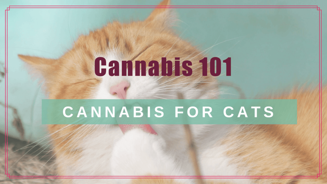 Cannabis 101: CBD for Your Cat