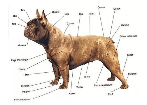 morphologie du bouledogue français