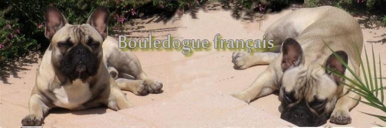 bouledogue-français