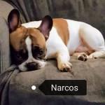 Narcos bouledogue français caille fauve rouge