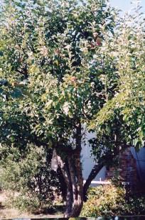 Bismark Tree 1993 b