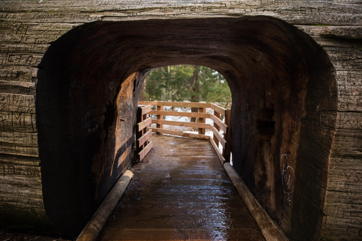 Sequoia-National-Park-Tree-Walk-Through-Sherman-Grove