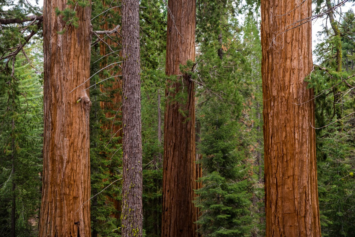 Sequoia-National-Park-Trees-Trunk-Detail