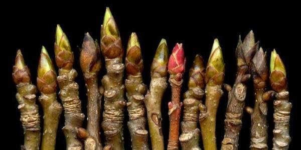 row of buds