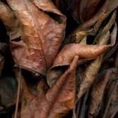 Leaves after de la Tour