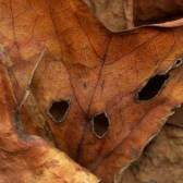 Leaves after Modigliani