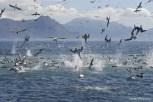 Cape Gannets diving on a bait ball