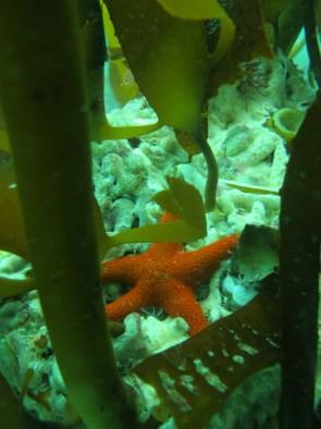 Starfish in the kelp