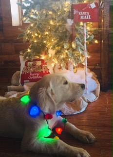 Akc English Golden Retriever Puppies For Sale In Missouri Arkansas