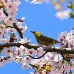 2020年の開花予想を発表!桜前線って何?北と南での違いはどれくらい?