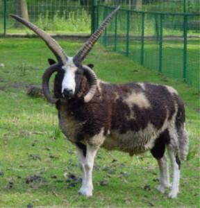 mouton a quatre cornes