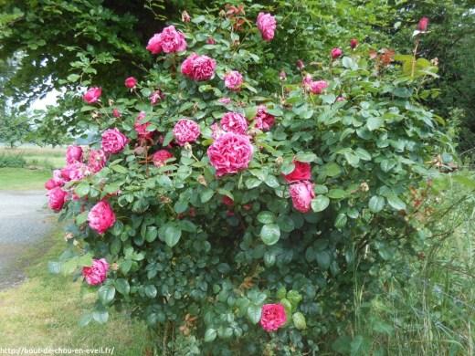 Rosier en fleurs