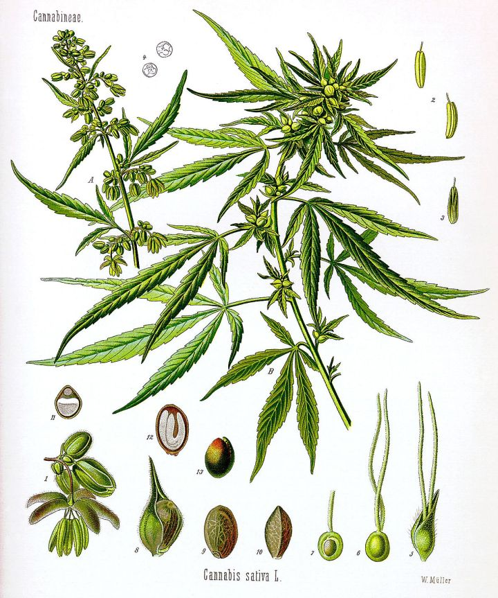 1200px-Cannabis_sativa_Koehler_drawing