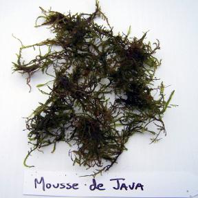 Plante Aquarium Mousse de Java