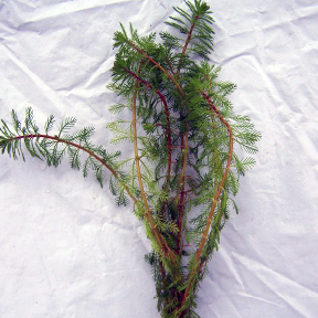 Myriophyllum Brasiliensis