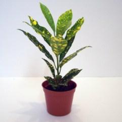 Croton Goldust