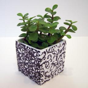 plante grasse portulacaria