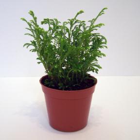 Selaginella Martensii Fougère Givrée