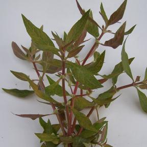 alternanthera-reineckii
