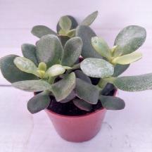succulents Crassula plante intérieure