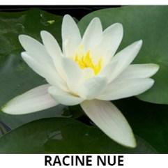 Nénuphar blanc racine nue